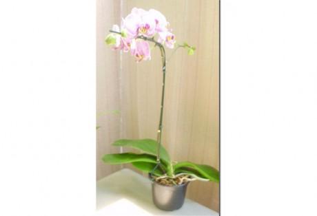 Orquídea Phaleanopsis